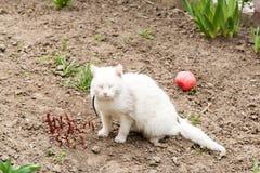 Den vita katten som spelar med en boll i trädgården, loppa förser med krage arkivbilder