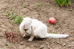 Den vita katten som spelar med en boll i trädgården, loppa förser med krage royaltyfria foton
