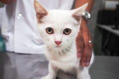Den vita katten som väntar på, injicerar Royaltyfri Foto