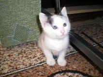 Den vita kattungen med blåa ögon sitter på mattan och ser upp royaltyfri foto