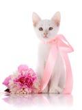 Den vita kattungen med ett rosa band sitter med en pionblomma. Royaltyfria Bilder