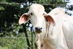 Den vita kon med flirty ögon, droopy öron och knölen tillbaka i gräsplan betar bak försett med en hulling - trådstaketet i Costa  royaltyfria foton