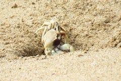 Den vita krabban i sanden av den Hanamaulu stranden parkerar, Kauai, Hawaii royaltyfri fotografi
