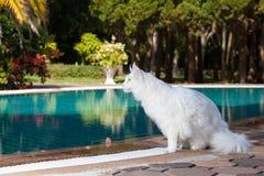 Den vita kvinnlign för den maine tvättbjörnkatten placerar närliggande simning Royaltyfri Foto
