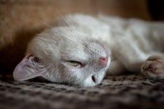 Den vita lata katten ligger på soffan Royaltyfria Foton