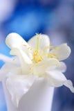 Den vita lilan blommar closeupen på blå bakgrund Royaltyfri Fotografi