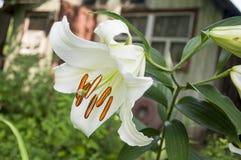 Den vita liljan är blommande i trädgården trädgårds- sommar för blomningblommor Fotografering för Bildbyråer