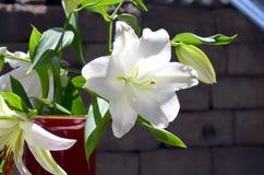 Den vita liljan Arkivbilder
