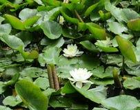 Den vita liljan arkivbild