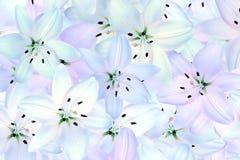 Den vita liljan blommar bakgrund Royaltyfria Foton