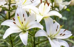 Den vita liljan blommar i en trädgård Arkivbild