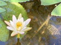 Den vita lotusblomman används för att erbjuda munkar Eller van vid dekorera i en vas royaltyfri foto