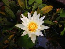 Den vita lotusblomman i bad Arkivfoto