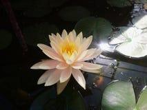 Den vita lotusblomman i dammet med varmt ljus royaltyfria foton