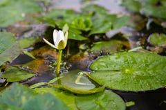 Den vita lotusblomman i den naturliga pölen Arkivfoto