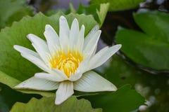 Den vita lotusblomman med bladet Royaltyfria Foton