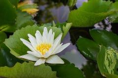 Den vita lotusblomman med bladet Royaltyfria Bilder