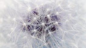Den vita maskrosblomman hoppa fallskärm makroen (16:9aspektförhållandet) Royaltyfri Bild