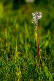 Den vita maskrosen blommar i grönt gräs royaltyfri foto