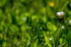 Den vita maskrosen blommar i grönt gräs royaltyfri fotografi