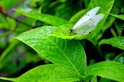 Den vita Morpho fjärilen på bladet med regn tappar Arkivbild