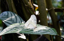 Den vita Morpho polyphemusen på det gröna bladet med vatten tappar Royaltyfria Foton