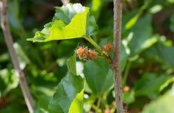 Den vita mullbärsträdet är örten för människa, och mat för siden- avmaskar Fotografering för Bildbyråer