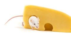 Den vita musen sätta sig på ett stort kvarter av ost Arkivbilder