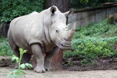 Den vita noshörningen Arkivbilder