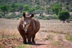 Den vita noshörningen bor i Afrika Arkivfoton