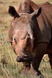 Den vita noshörningen bor i Afrika in länge och kort-gräs savannahs Royaltyfria Bilder