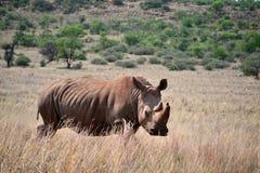 Den vita noshörningen bor i Afrika in länge och kort-gräs savannahs Royaltyfria Foton