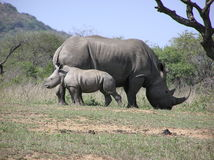 Den vita noshörningmumen och behandla som ett barn royaltyfri fotografi