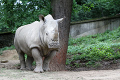 Den vita noshörningen Arkivfoto