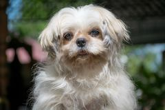 Den vita och fluffiga hårShih Tzu hunden royaltyfri foto