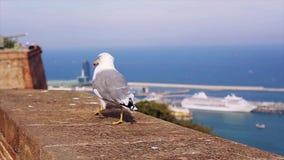 Den vita och gråa seagullen går på tegelstenstaketet på kostnad av havet i Spanien swallowtail för sommar för fjärilsdaggräs soli stock video