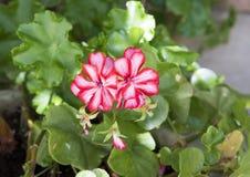 Den vita och röda pelargon blommar i en kruka, sydliga Italien Royaltyfria Bilder