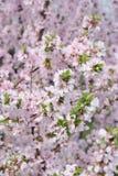 Den vita och rosa körsbäret blommar på en filial Arkivbild