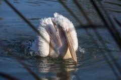 Den vita och rosa pelikan är på vattnet Arkivbild