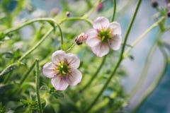 Den vita och rosa stenbräckan blommar makrocloseupen Royaltyfri Fotografi