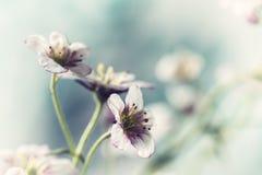 Den vita och rosa stenbräckan blommar makrocloseupen Arkivfoton