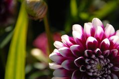 Den vita och violetta dahliablomman kantjusterade arkivfoto