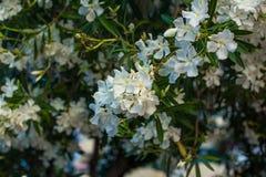Den vita oleander blommar på en filial Arkivbilder
