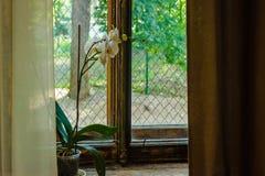 Den vita orkidén är på det gamla fönstret med den guldpläterade beståndsdellilla viken arkivfoto