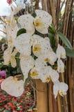 Den vita orkidén blommar i det kalla vädret arkivbild