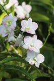 Den vita orkidén blommar med grön bakgrund Royaltyfri Foto
