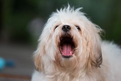 Den vita pölhundståenden slickar hennes näsa Arkivbild