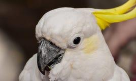 Den vita papegojan i dess härlighet arkivbilder
