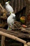 Den vita papegojan tycker om att äta Arkivfoto