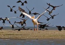 Den vita pelikan flyger upp Arkivbilder